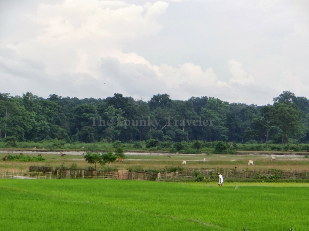 Assamese paddy fields