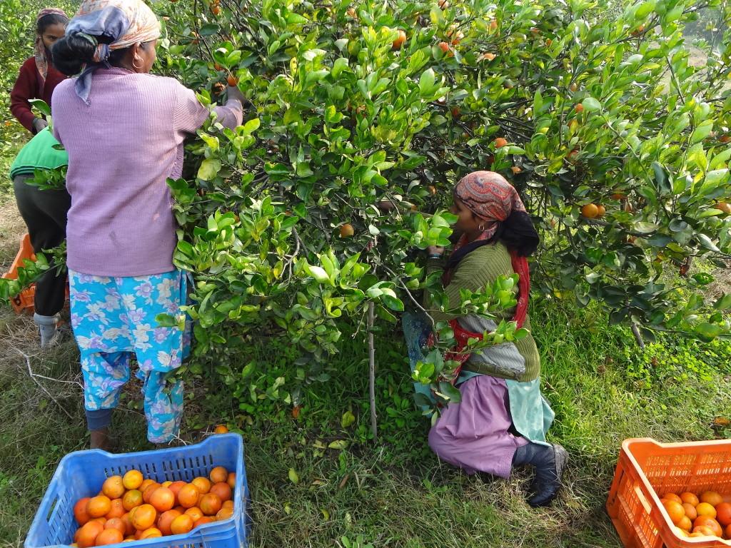 Plucking Tangerine fruit