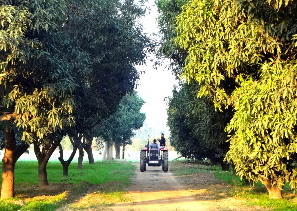 Tractor ride in Mango plantations