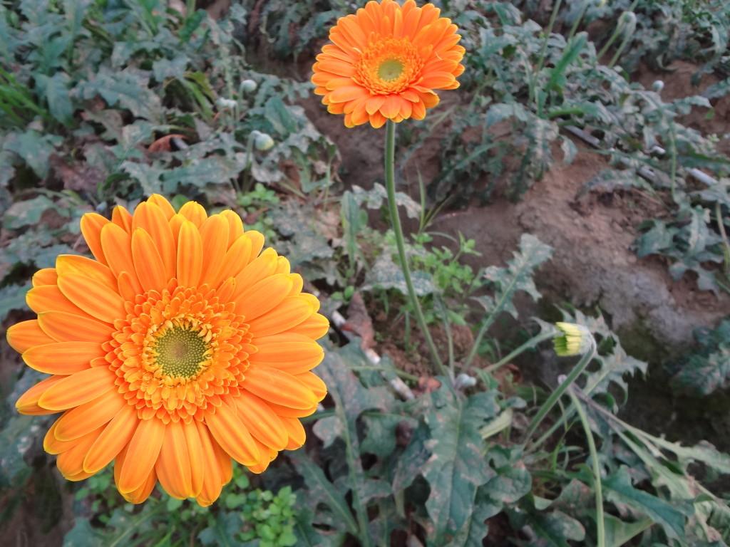 Floriculture in hoshiarpur