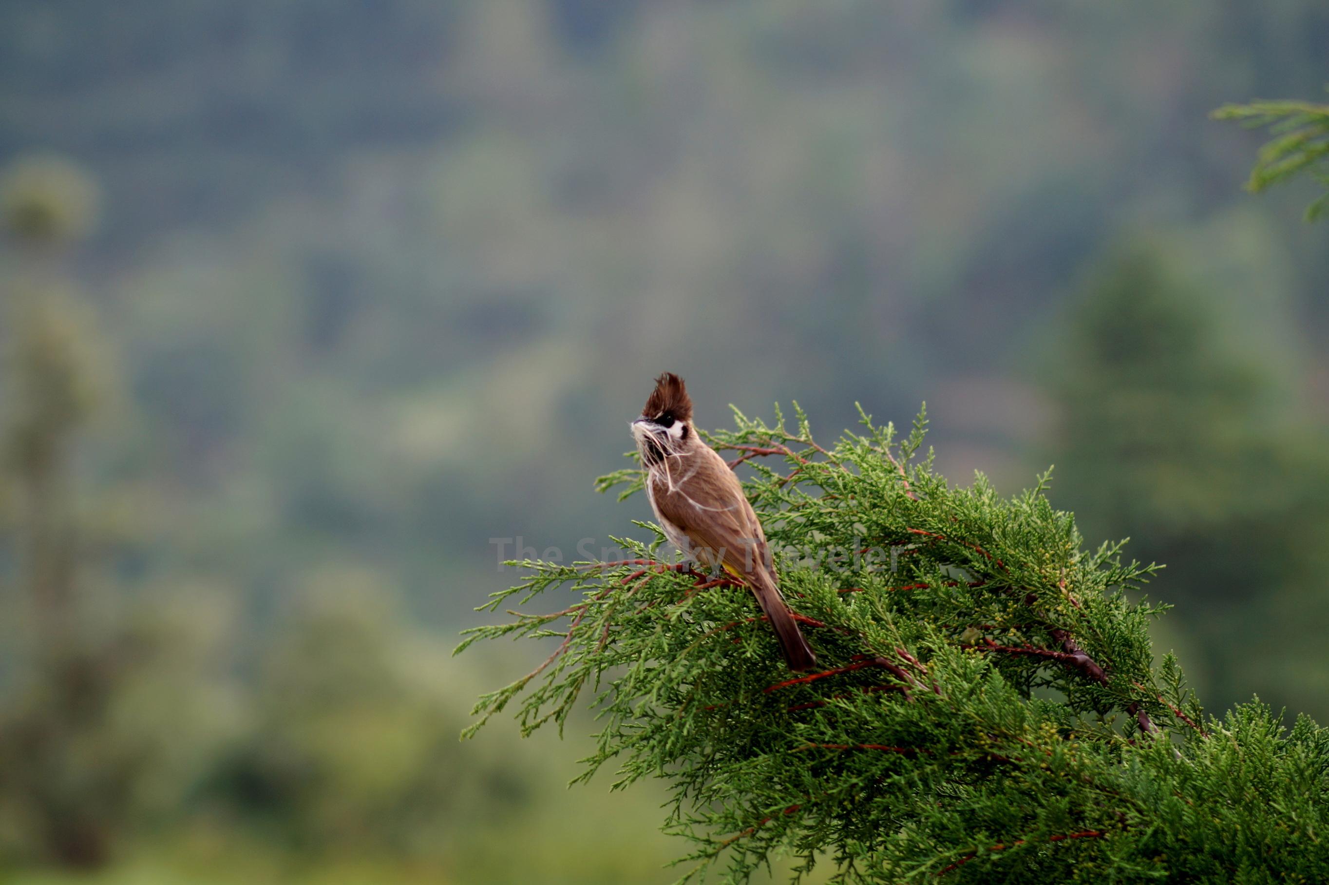Himalayan birds